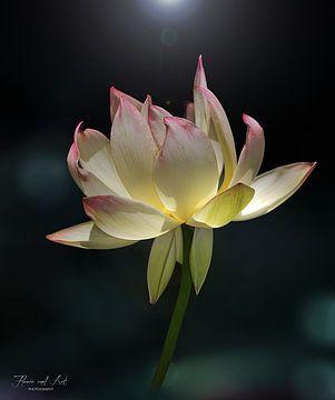 De heilige lotus (Nelumbo nucifera)