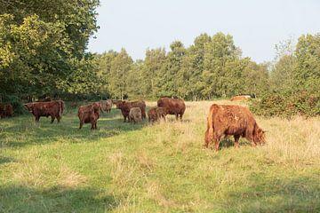En kudde Schotse Hooglanders met kalveren van Henk van den Brink