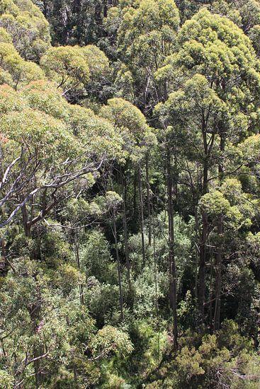 Hoge bomen met lange basten