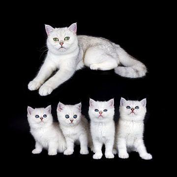 Gruppe junge schwarze silberne shaded Kätzchen mit der erwachsenen Mutter Katze lokalisiert auf schw von Ben Schonewille