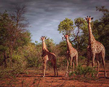 Small, medium and large - giraffes van Laura Sanchez