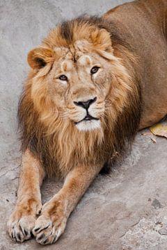 een leeuwenmannetje met manen ligt met zijn poten uit. Snuit van een krachtige mannetjesleeuw met ee van Michael Semenov