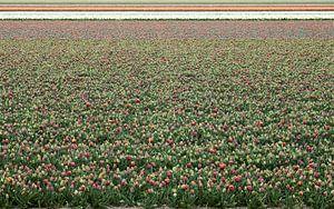 Tulpen veld van Erik Reijnders