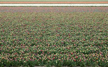 Tulpenfeld von Erik Reijnders