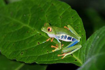 Tree Frog von Eddy Kuipers