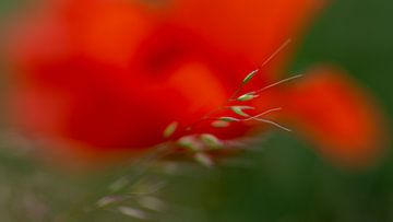 Mohnblumen von Anki Riteco