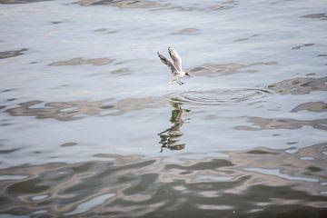meeuw vliegend over de Taag van Eric van Nieuwland