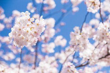 Sakura, Japanse Bloesem von Studio W&W