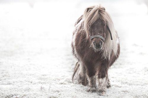 Shetlander in de sneeuw van