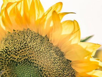 Details einer Sonnenblume von Art By Dominic