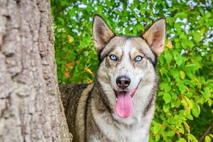 Portret husky hond naast boomstam in natuur