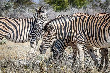 Schöne Zebras auf afrikanischen Ebenen von Original Mostert Photography