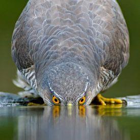 Eurasian Sparrowhawk drinking water von AGAMI Photo Agency