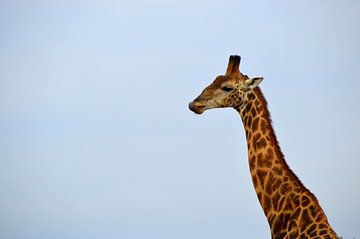 Close up prachtige giraffe voor een blauwe lucht, Kruger Park, Zuid Afrika van Vera Boels