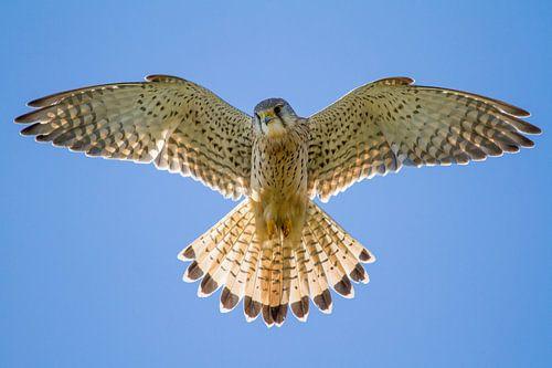 Vogels   Biddende torenvalk van Servan Ott