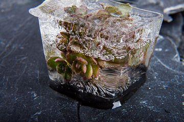 Sedum cyaneum in ice 2 van Marc Heiligenstein