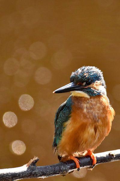 IJsvogel met oranje achtergrond en bokehbollen van Sascha van Dam
