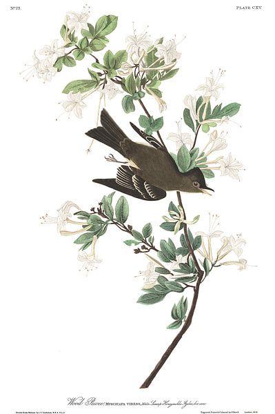 Oostelijke Bospiewie van Birds of America