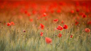 Poppy in red von