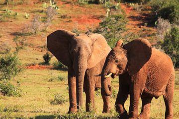 Zwei afrikanische Elefanten in der Savanne in der Wildnis von Bobsphotography