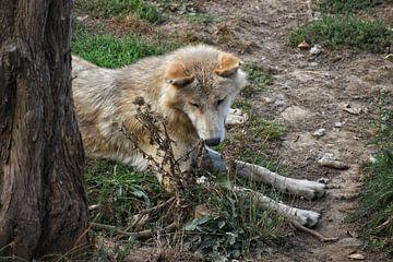 De wolf van Alia Maximus