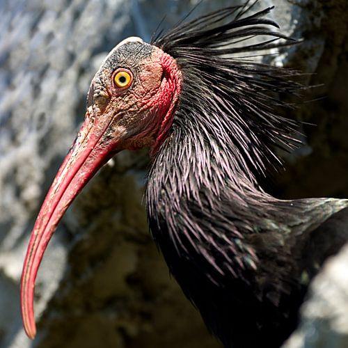 Kaalkop Ibis