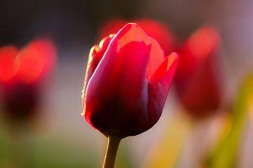 tulipe rouge sur Tania Perneel