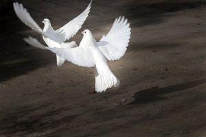 Twee opstijgenge witte duiven van