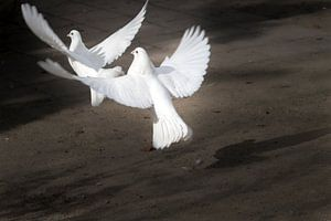 Twee opstijgenge witte duiven sur Ralf Köhnke