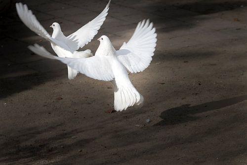 Twee opstijgenge witte duiven van Ralf Köhnke