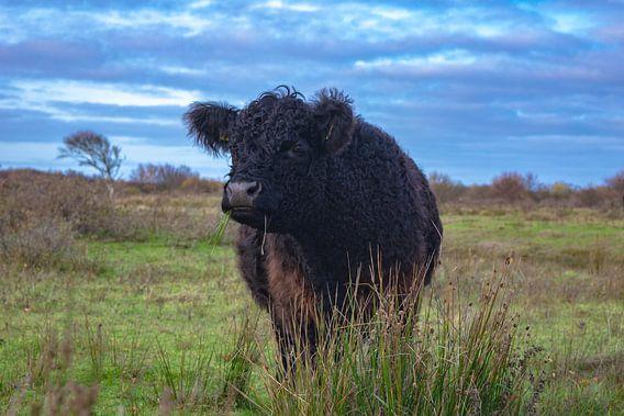 Grazende koe op Texel