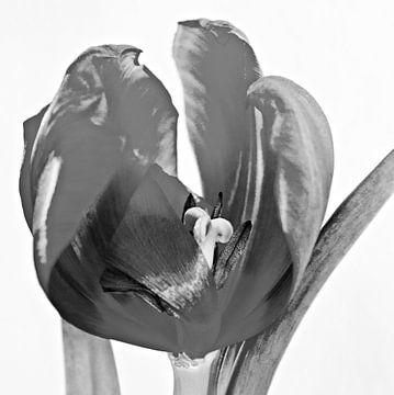 Tulpe von Jessica Berendsen