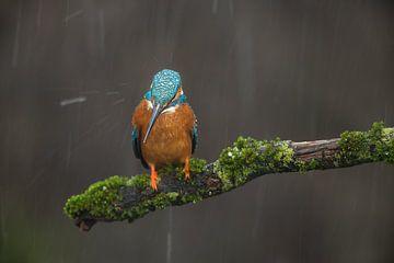 IJsvogel in een regenbui op bemoste tak van Jeroen Stel