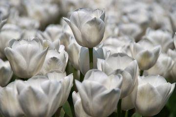 Weiße Tulpen von Ad Jekel