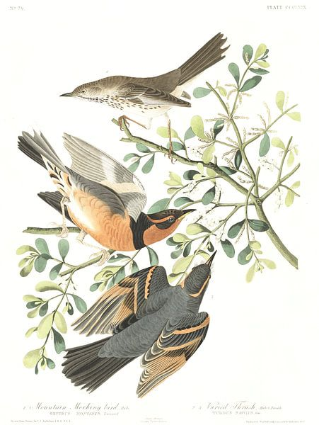 Bergspotlijster van Birds of America