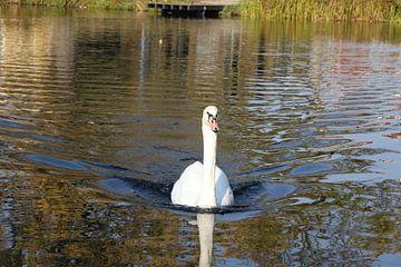 zwaan in het water van Frans Versteden