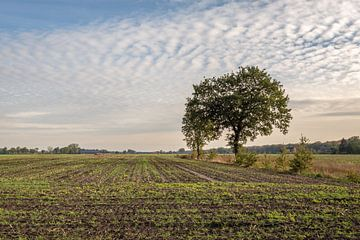 Pas gezaaid gras in een groot veld met maïs stoppels van Ruud Morijn