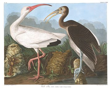Witte Ibis van