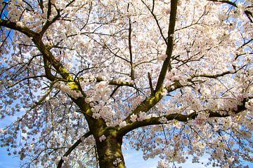 Weißer Frühlingsbaum mit blauem Himmel von Marco Leeggangers
