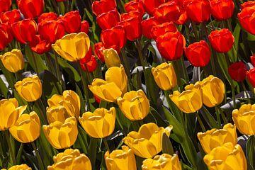 Tulpen gelb und rot von Corrie Ruijer