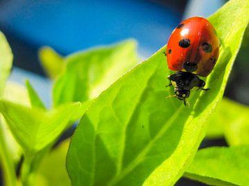Ladybird von Leonie Versantvoort