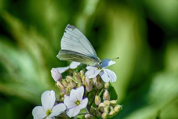 Droomvlinder van Hanneke Duifhuize