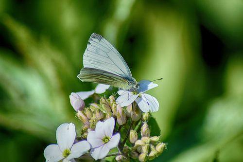 Droomvlinder