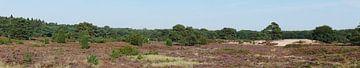 Heideterrein in boswachterij Ruinen. van Wim vd Neut