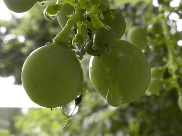 Druiven die hangen in de tuin van Wilbert Van Veldhuizen