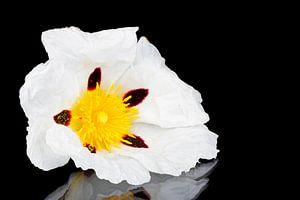 Bloeiende rotsroos - Cistus ladanifer