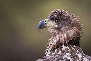 Portrait d'un aigle sur Herbert van der Beek