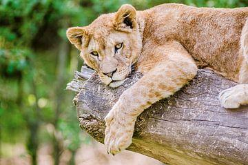 Löwenjunges von Karlijn Dado