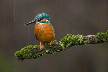 Eisvogel bei einem Regensturm auf moosigem Ast von Jeroen Stel