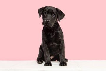 Schwarzer Labrador Welpe auf einer weißen Bank vor einem rosa Hintergrund von Elles Rijsdijk